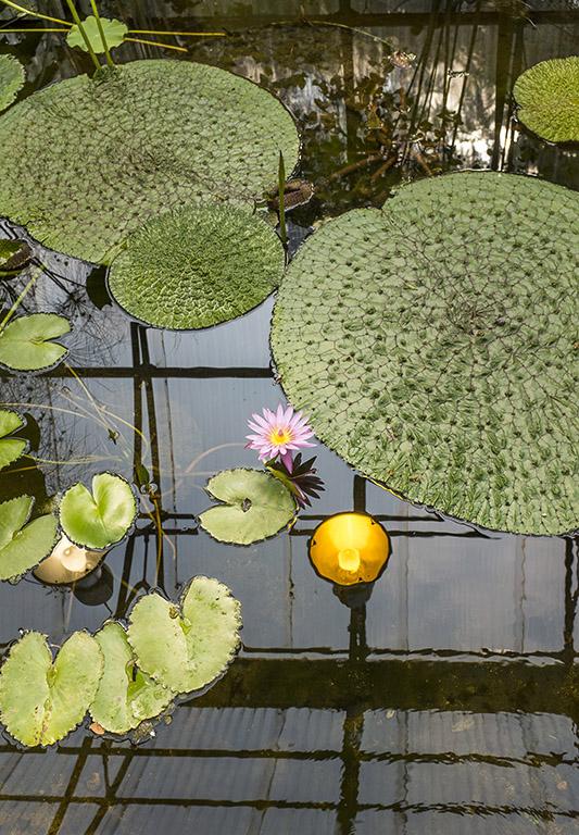 nenuphar Domaine de Chaumont-sur-Loire - festival international des jardins