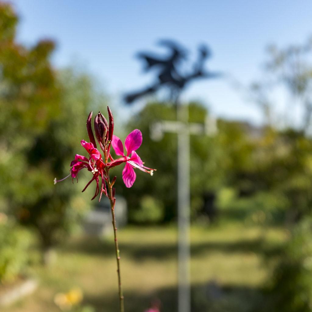 Gaura rouge jardin de Penerf